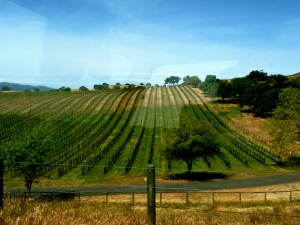 Thompson Vineyard